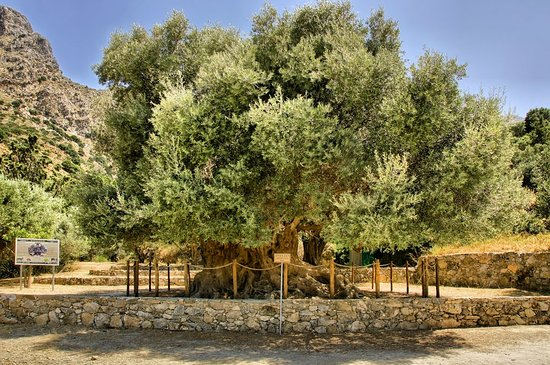 Azorias Ancient Olive Tree