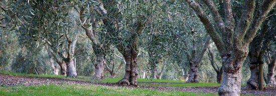 Warkworth, Nueva Zelanda: Olive grove