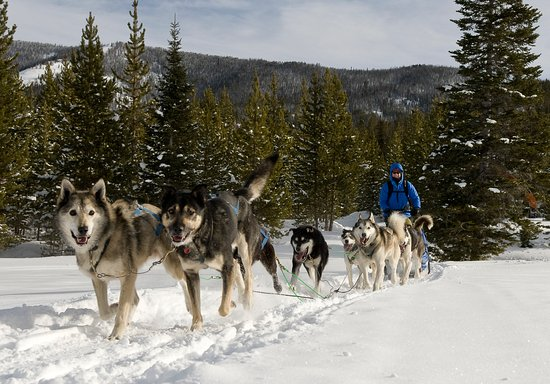 Yellowstone National Park, WY: Dogsledding in Chico, MT
