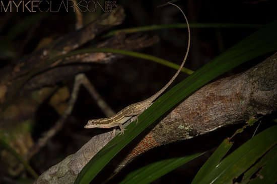 San Antonio, Belice: Ghost Anole on the grounds.