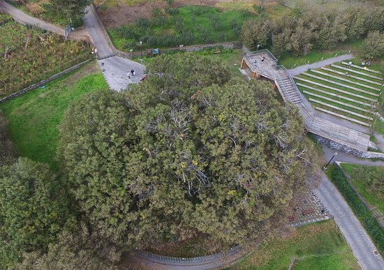 Sant'Alfio, Włochy: From above you can just about get a sense of just how big this tree actually is.