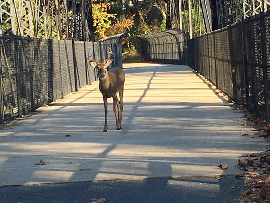 District of Columbia: Deer in the CC Trail