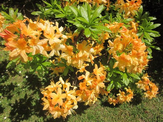 Duneira Estate: A spectacular orange rhododendrom