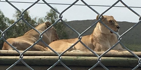 Stanford, Güney Afrika: Jade and Zakara the lionesses