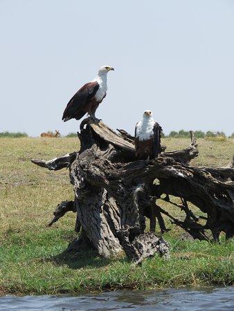 Kasane, Botsuana: Fish Eagles