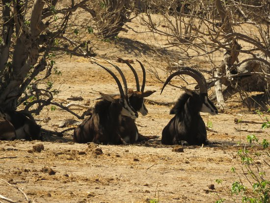 Kasane, Botswana: Beautiful Sable