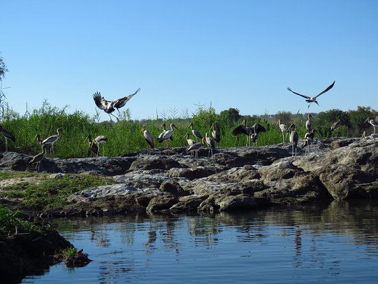 Kasane, Botswana: Yellow billed storks and Herons