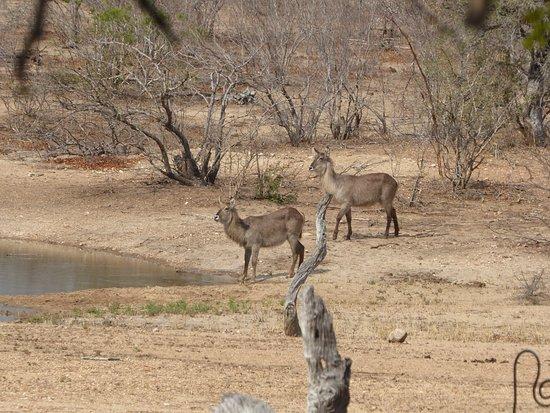 Kambaku Safari Lodge: Visitors to the waterhole