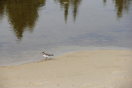 Manitoulin Island, Canada: Local shore bird - plover I believe