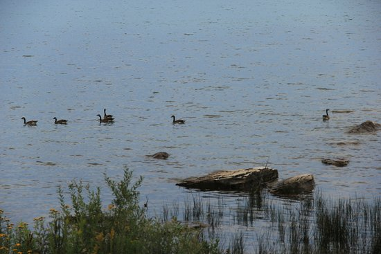 Providence Bay, Канада: Moving east from the beach toward the marina was a flock of geese