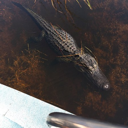 Weston, FL: This alligator was just off the side of our boat - up close and personal