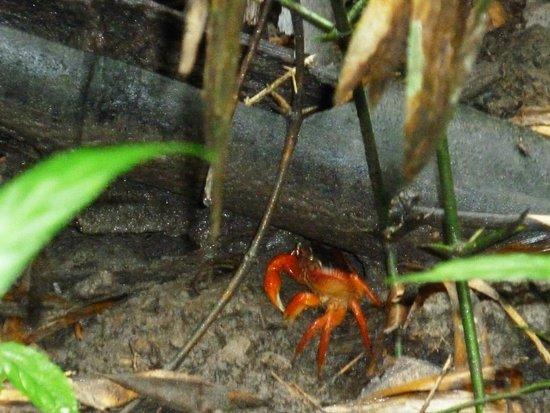 Umphang, Tailandia: Rare, orange forest crabs!