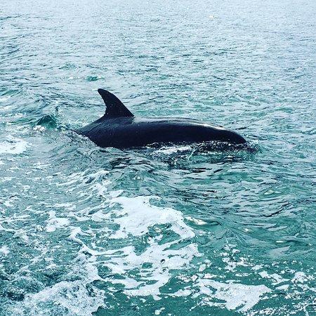 มาร์ลโบโรห์, นิวซีแลนด์: Dolphins in the Kenepuru Sound