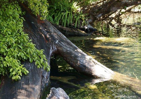 Yungaburra, Australia: Eastern Water Dragon
