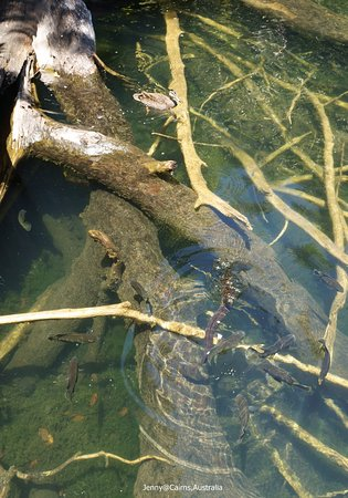 Yungaburra, Australia: Long-finned Eels
