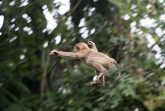 their-really-are-flying - Flying monkey - Weird and Extreme