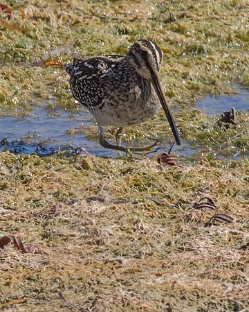 Alabaster, AL: A Wilson's Snipe looks for food in the mud flats surrounding the central pond at Limestone Park