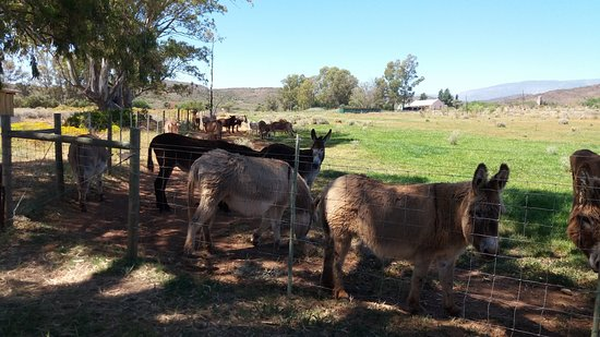 Cape Cottages McGregor: nearby attraction Donkey Sanctuary