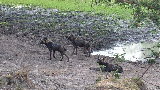 Morogoro, Τανζανία: Wilddogs visiting Mikumi Park. Not Seen every day.
