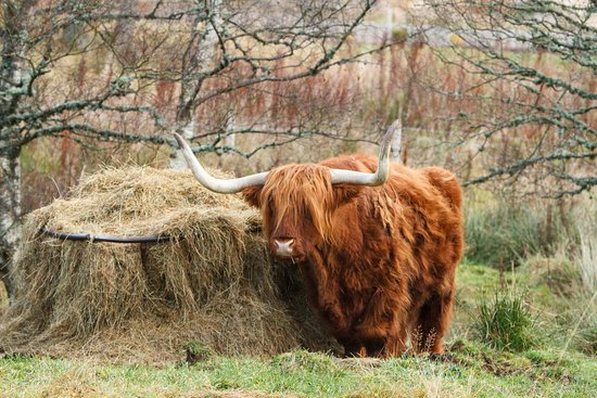Grantown-on-Spey, UK: Highland cow