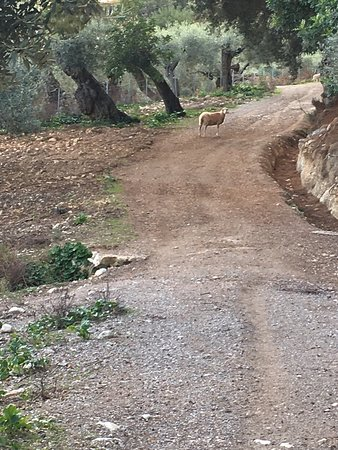 Campanet, Spanien: Un paseo entre olivos y ovejas. 100x100 relax