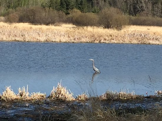 St. Albert, Canada: Blue Heron along Red Willow Trail
