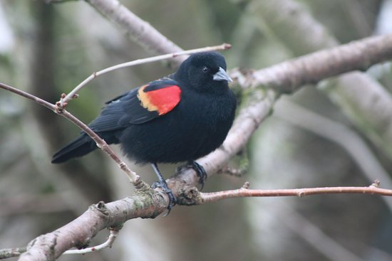 Delta, Canadá: Up close with a red-winged blackbird