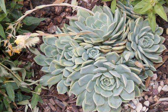 Rancho Santa Fe, Καλιφόρνια: Succulents every where!