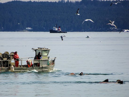 Nanaimo, Kanada: The March fishing competition .... fishermen, seagulls and sea lions.