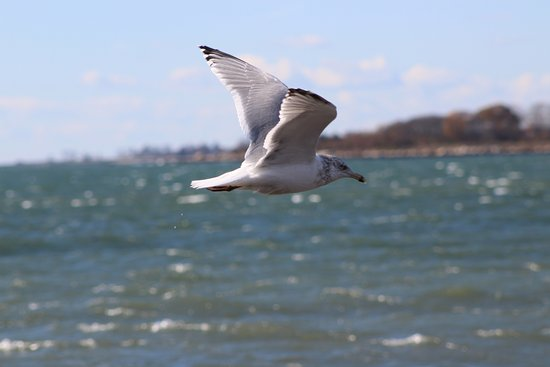 Seagull in flight stock image. Image of plumage, tail - 2375797