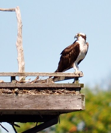 Thousand islands: Osprey