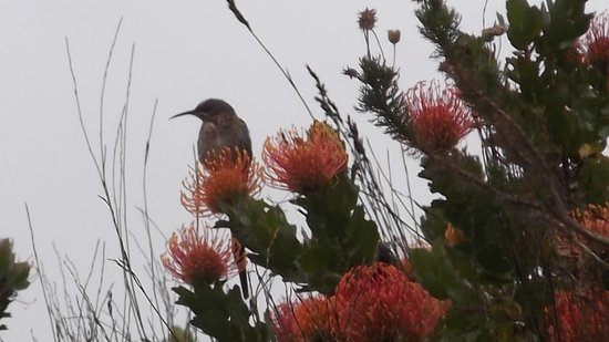Overberg District, South Africa: Sunbirds and suikerbos in harmony