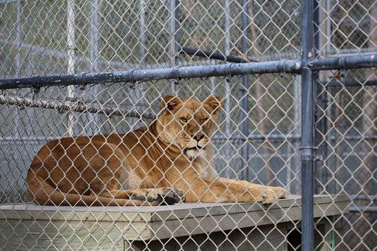 Mead, WA: Lion