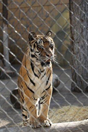 Mead, WA: Tiger