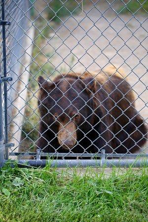 Mead, วอชิงตัน: Bear