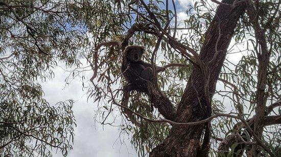 Paynesville, Australia: Koala