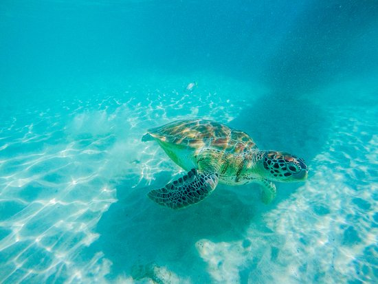 St. James, Barbados: Green Sea Turtle