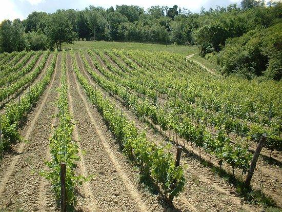 Montespertoli, Italia: Our young vineyards