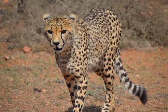 Kirkwood, Νότια Αφρική: Oog in oog met twee bijn volwassen Cheeta' s