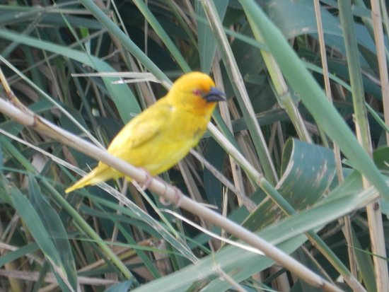 Mkuze, South Africa: African Golden Weaver nesting by the Jetty