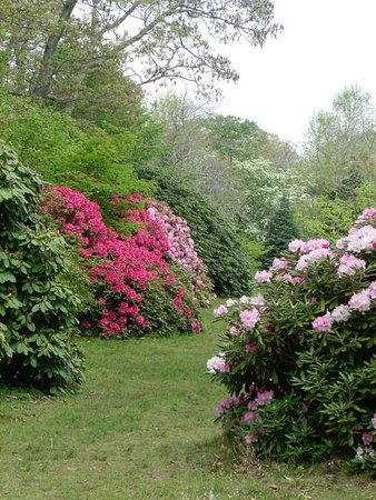 West Tisbury, MA: Rhododendrons and azaleas bloom from the end of May into June. Some bloom throughout the summer.