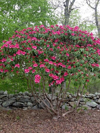 West Tisbury, MA: Remnant stonewalls are the framework of the Arboretum. Rhododendrons grow very well here!