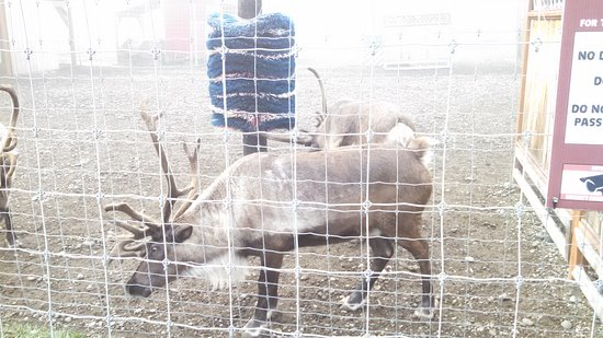 Santa Claus House: Beautiful Reindeer at the nearby petting area