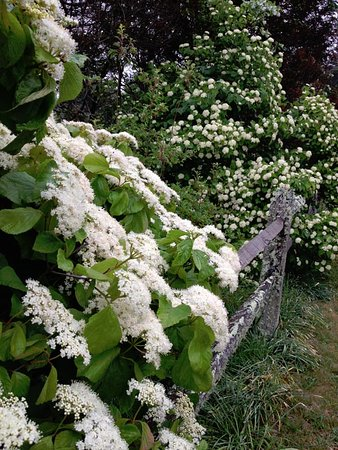 West Tisbury, MA: Viburnums blossom along a split rail fence, bordering an open field.