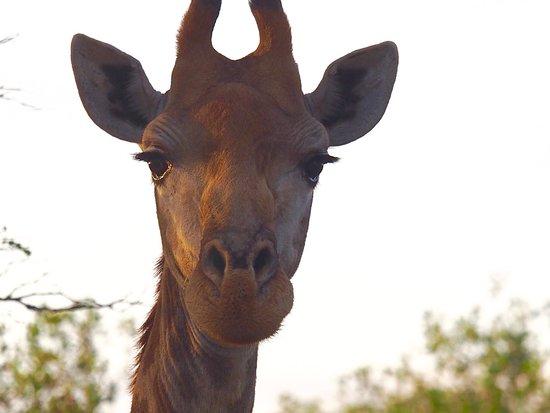 Monwana Game Lodge: Giraffe