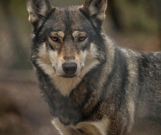Kuusamo, فنلندا: Wolf