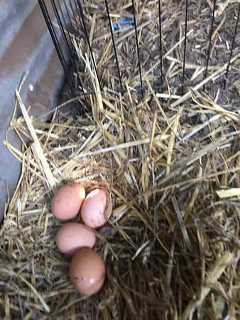 New Norfolk, Australien: Guests are welcome to collect eggs from our lovely happy chooks