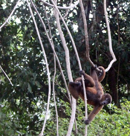 Renaco Lodge: Vimos al mono Choro