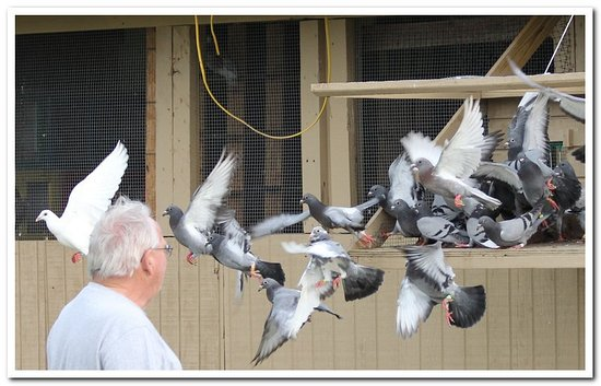 Mayo, FL: Pigeon clasic birds coming home.