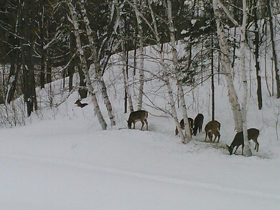 Magnetawan, Canada: Deer out back of the hotel about 100 metres away